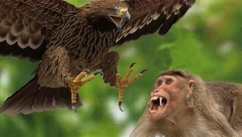 食猴鹰抓母猴,前方高能瞬间,不愧为丛林之王