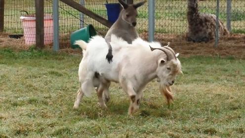 袋鼠骑在暴躁山羊身上,怎么撵都不下来,镜头拍下搞笑的瞬间