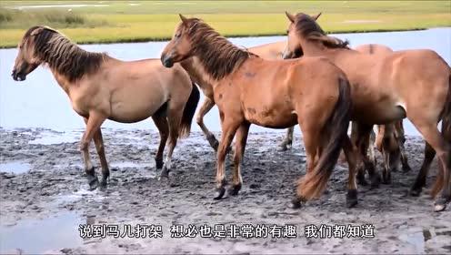 马是怎么打架的?屁股对屁股一顿互踹,看完我能笑一天!