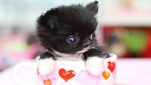 """最小的宠物犬,竟比巴掌还要小,还能在杯子里""""游泳""""!"""
