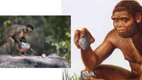 人类地位不保?这种生物已产生智慧,它们会利用石头来当工具使用