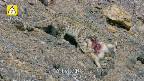 猫科动物的平衡能力有多强?雪豹为捕食从60米高山摔下