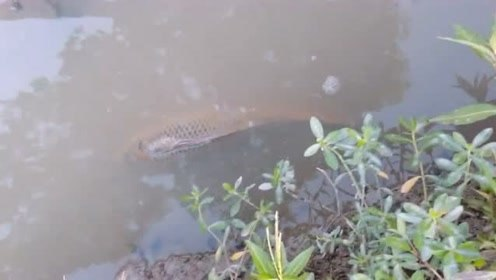 河边意外发现一条大草鱼,小伙子身手敏捷,一下子就抓了上来!