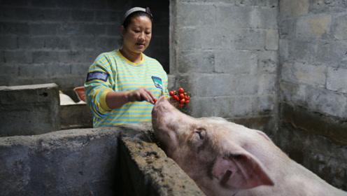 夫妻俩以前矿上打工, 现在在家养母猪,一头猪崽卖700元