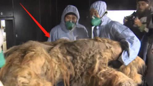 """俄冻土层发现""""史前巨兽"""",尸身完整能克隆,上古生物能复活"""