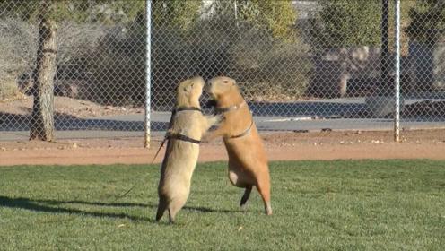 水豚里的另类,喜欢奔跑和打闹,这还是稳如泰山的水豚么?
