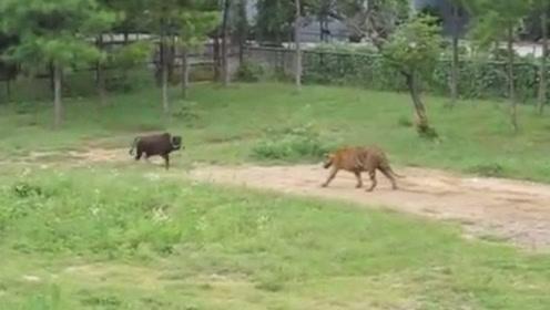 动物园用活牛投喂老虎,牛不甘心,选择正面和老虎一搏!