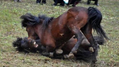 强壮的公马第一次遇见母马,瞬间便失去了理智,镜头记下精彩全程