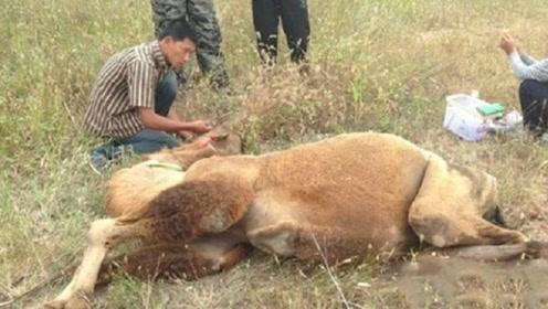 为什么渴死的骆驼不能碰?有人不信,下一秒后悔了