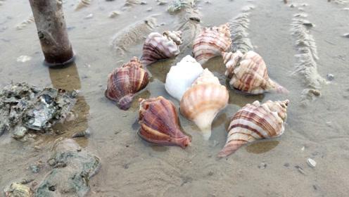 趁大退潮赶海,沙滩上遍地的小生蚝,还有搁浅的香螺