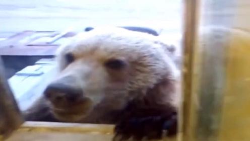 棕熊跑进居民家中偷吃,趴在窗户上,哪里还有一点熊样