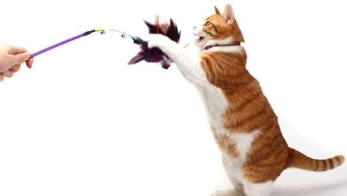 给猫咪买了电动逗猫棒,场面一度控制不住:这是谁家养的疯猫