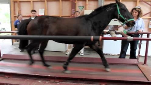 男子把马放在跑步机上,把速度调到最大,下一秒太厉害了!