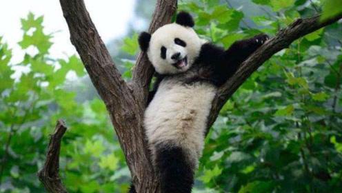 大熊猫跳舞魔怔了,搭配一首《一起摇摆》,团子:摇起来好吗?