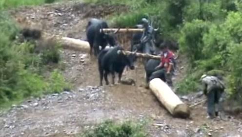 林场里搬运木材的牛,这活太苦了