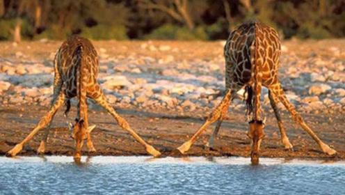 长颈鹿一旦摔倒,很快就会死掉是为什么?今天算是长见识了!