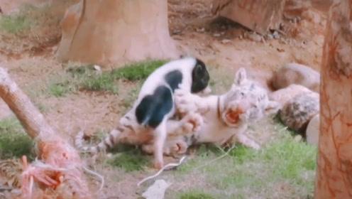 动物园实验:把小猪扔进小狮群会如何?结局让人哭笑不得