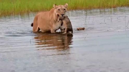 哥哥生病了只能让妈妈叼着,小狮子为了不让妈妈那么累,只能自己游过去!