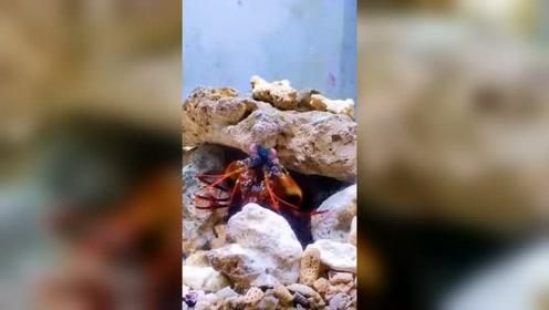 都说了不能调戏螳螂虾,接下来的一幕,这下该换鱼缸了吧!