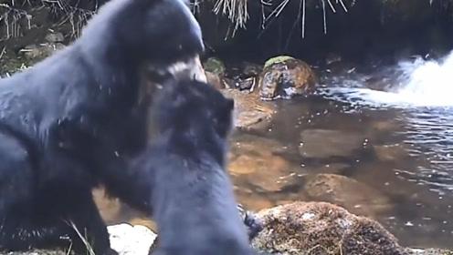 黑熊妈妈带着小熊过河,熊宝宝害怕不肯过,接下来憋住别笑
