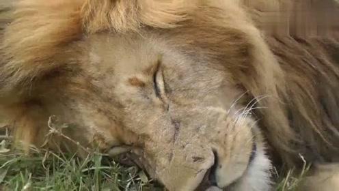 熟睡中的雄狮