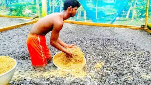 印度鲶鱼有多可怕?把食物扔进去的一瞬间,整个河面都沸腾了!