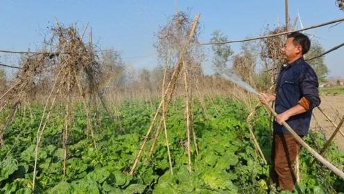 三股强冷空气来袭,大风天+气温骤降,菜农该如何避免蔬菜减产?