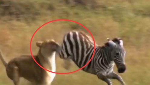"""狮子居然被斑马""""踢脸""""?狮子:就是想单纯的吃个肉,太难了!"""