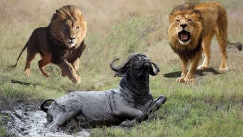 野牛被困淤泥中,狮子开心享用,下一刻却悲剧了!