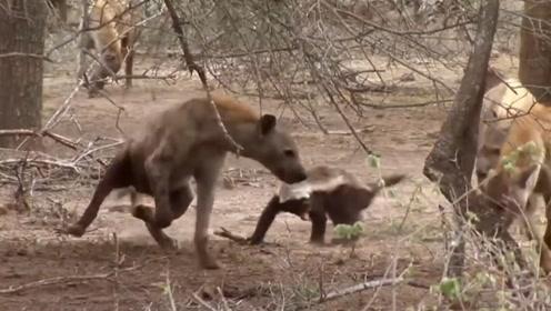 3条鬣狗欲捕食平头哥,不料反被平头哥吓退,网友:真是胆子肥了