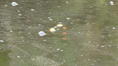 钓鱼:安静的塘角处,水面一层油膜,鲫鱼偏偏喜欢呆在这地方!
