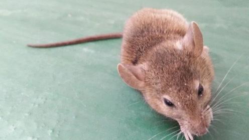 听说鼠疫别恐慌 先来了解什么是鼠疫 感染后出现哪些症状