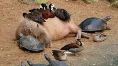 它只要一出现,所以动物都会围上去乖乖趴着,就连鳄鱼也要听话