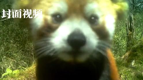 小熊猫:发现红外相机一个,让我来自拍!