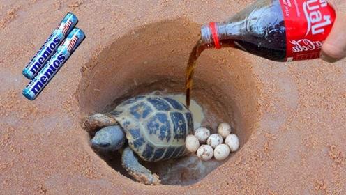 小伙捉乌龟有妙招,一瓶可乐一把糖,让你看看乌龟怎么乖乖爬出洞