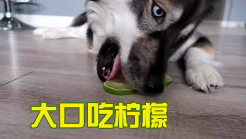 狗主人脑洞大开,给两只哈士奇吃超酸青柠檬,它俩居然争抢起来