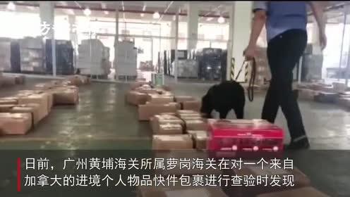 水果夹心脆条夹藏大麻49克!广州萝岗海关截获3件藏毒入境包裹