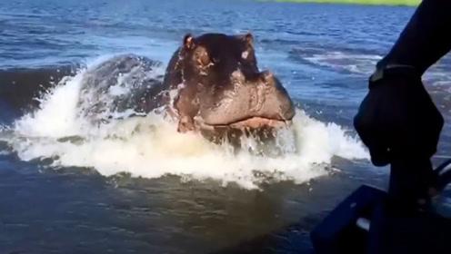 游客坐船游玩,却因靠得太近激怒了河马,镜头拍下惊险的一幕