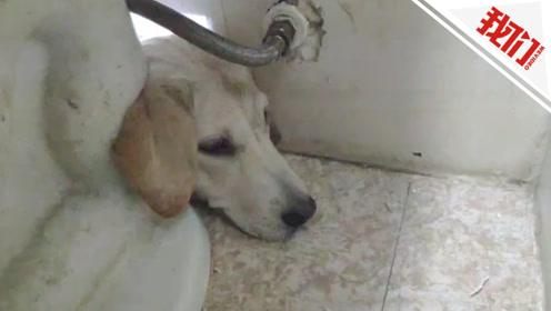 狗子体态过于肥硕被卡马桶 消防员撸平脖颈皮毛救出