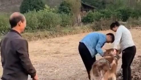 狗可不是黄牛,为什么也要犁地,难道铲屎官错把狗当成牛了?