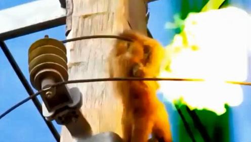 """作死猴子爬上高压线,不料高压线瞬间爆炸,棕猴烧成了""""火猴""""!"""