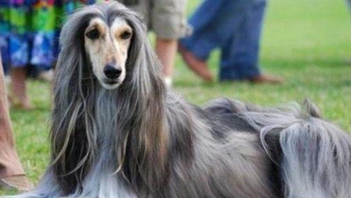 为什么国内禁止养阿富汗犬,再有钱也不行,看完你还敢养吗?