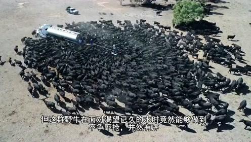 草原上已经干旱许久了,救命的送水车刚到,就被野牛群围得水泄不通