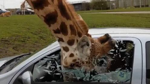 女司机给长颈鹿喂食,结果长颈鹿的头伸进车内,瞬间就悲剧了!
