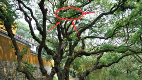 """世上最""""孤独""""的树,唯独""""在中国""""有一颗,至今未找出""""繁殖""""方式"""