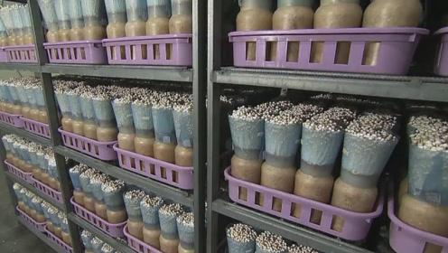 金针菇到底干不干净,看到日本金针菇的种植过程就明白了