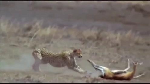 花豹捕猎准备动作,一发动像飞机一般,成功率比狮子高太多