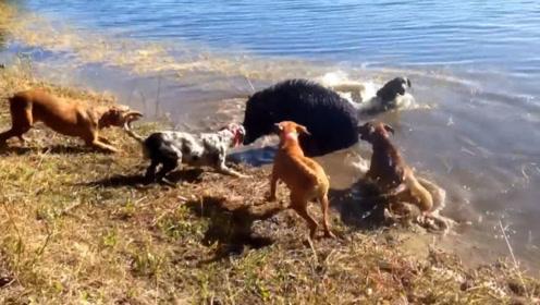 野猪被5条猎狗包围,为了保命它选择这样做,还真管用!