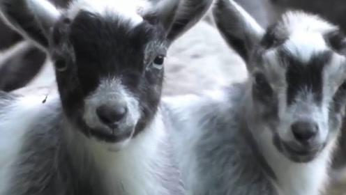 神奇的山羊宝宝,出生后亲妈不敢认,出生时没有脐带还长着张人脸
