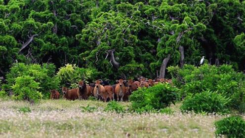 海南一海岛发现大量野牛,来历一直不明,专家从牛粪中找到了答案
